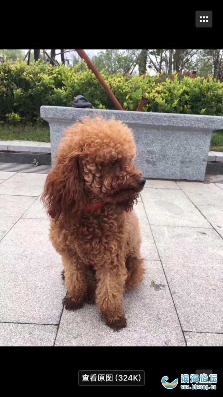 昨晚十点钟左右在昌兴壹城附近走失一只成年公泰迪