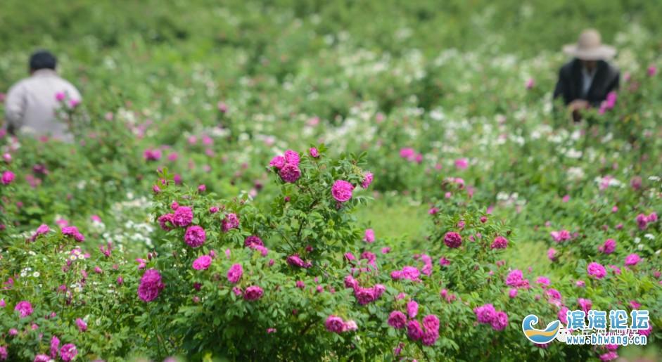 """""""花""""樣經濟!濱海這個村的玫瑰致富了一方……"""