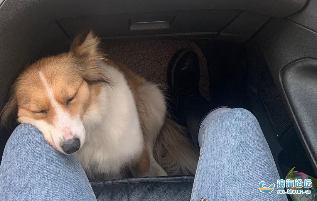 重金寻狗,它叫来福,鼻子上有个明显的伤疤,一岁左右最近来大姨妈了