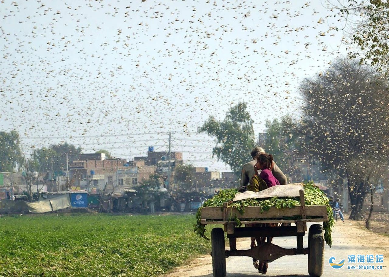 想不到吧?中國竟派10萬鴨子到巴基斯坦消滅蝗蟲