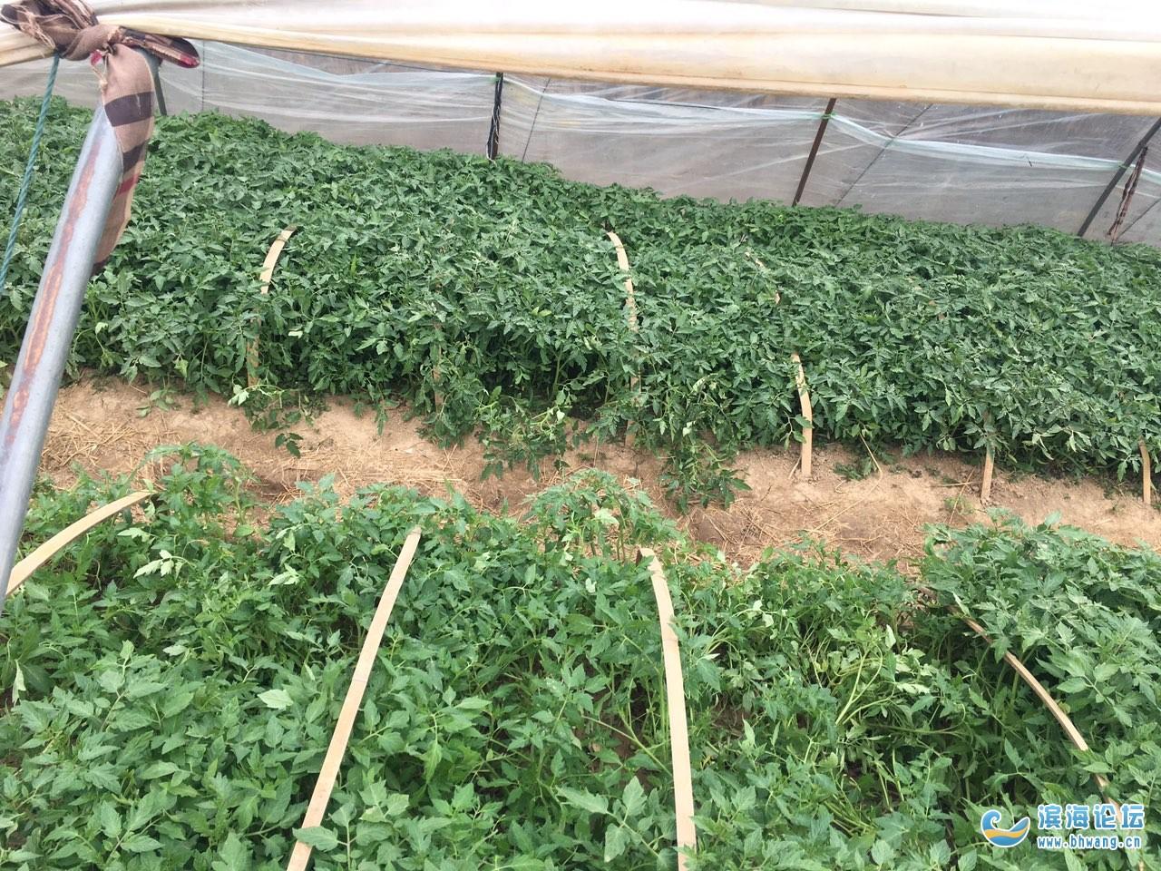 自家種的蔬菜苗,辣椒,番茄,黃瓜,絲瓜茄子,以及其