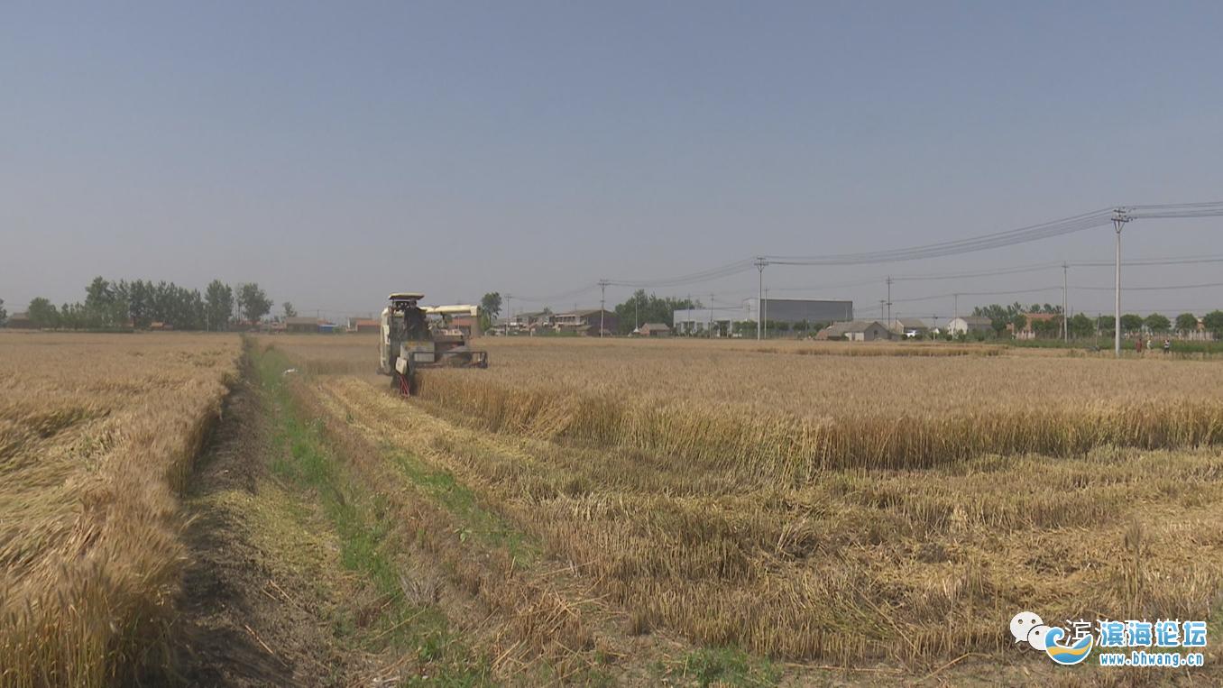 【聚焦】满目金黄!滨海82万亩小麦开镰收割……